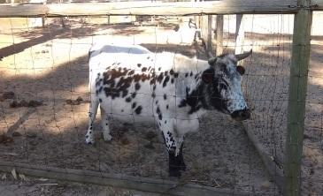Dalmation cow