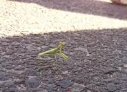 Non-praying mantis