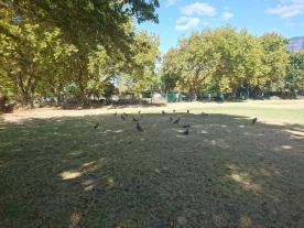 Duck season (Egyptian Geese, actually)