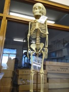 Mr Bones (an 8000 year old skeleton of a 5-year old Moroccan child)